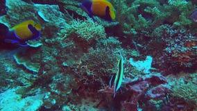 Μπλε δύο ζώνη angelfish και ένα μαυριτανικό είδωλο φιλμ μικρού μήκους