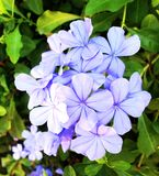 Μπλε εγκαταστάσεις λουλουδιών auriculata Plumbago Στοκ φωτογραφίες με δικαίωμα ελεύθερης χρήσης