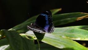 Μπλε ενωμένο eggfly σε ένα φύλλο απόθεμα βίντεο