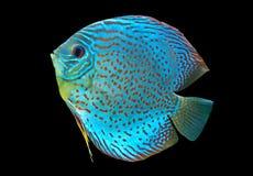 Μπλε επισημασμένα ψάρια Discus Στοκ Φωτογραφίες
