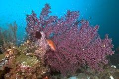 Μπλε-επισημασμένο grouper μεγάλο πορφυρό σε seafan στοκ εικόνες