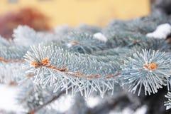 μπλε ερυθρελάτες κλάδ&omeg Μπλε κομψές, πράσινες κομψές, άσπρες ερυθρελάτες, μπλε ερυθρελάτες του Κολοράντο με το χριστουγεννιάτι Στοκ Φωτογραφίες