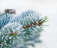 Μπλε ερυθρελάτες Στοκ Εικόνα