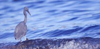 μπλε ερωδιός λίγα Στοκ Εικόνες
