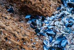 Μπλε θαλασσινά κοχύλια σε μια πετρώδη παραλία Στοκ εικόνες με δικαίωμα ελεύθερης χρήσης