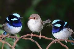 μπλε θαυμάσια wrens νεράιδων Στοκ Εικόνα