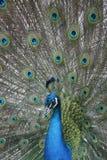 μπλε Ινδία peafowl Στοκ Φωτογραφία
