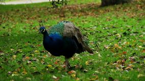 Μπλε ινδικό peacock που περπατά στη χλόη στο φυσικό περιβάλλον απόθεμα βίντεο