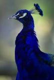 μπλε ινδικό peacock στοκ φωτογραφίες
