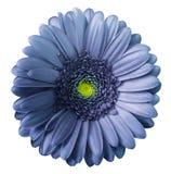 Μπλε-ιώδες λουλούδι Gerbera απομονωμένο στο λευκό υπόβαθρο με το ψαλίδισμα της πορείας Καμία σκιά closeup στοκ φωτογραφίες