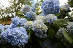 Μπλε κήπος hydrangea με τα πράσινα φύλλα στον κήπο στοκ εικόνες με δικαίωμα ελεύθερης χρήσης