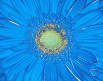 Μπλε κίτρινη κινηματογράφηση σε πρώτο πλάνο λουλουδιών Gerbera μακρο καρύδι φουντουκιών λεπτοκάρυων ανασκόπησης Στοκ Εικόνες