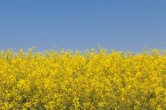 μπλε κίτρινος ανασκόπηση&sig Τοπίο ενός τομέα συναπόσπορων Στοκ εικόνες με δικαίωμα ελεύθερης χρήσης
