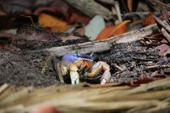 Μπλε καβούρι στην παραλία στοκ εικόνα με δικαίωμα ελεύθερης χρήσης