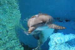 μπλε καθαρό ύδωρ δελφινιώ&n Στοκ φωτογραφία με δικαίωμα ελεύθερης χρήσης