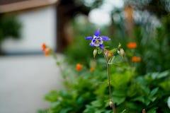 Μπλε και άσπρο Columbine στοκ φωτογραφία με δικαίωμα ελεύθερης χρήσης
