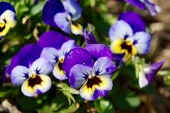Μπλε και κίτρινα λουλούδια Pansy Στοκ Φωτογραφίες