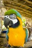 Μπλε και κίτρινη κινηματογράφηση σε πρώτο πλάνο macaw Στοκ Φωτογραφίες