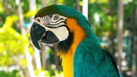Μπλε και κίτρινη macaw κινηματογράφηση σε πρώτο πλάνο macaw του //Α μπλε και κίτρινη στοκ εικόνες