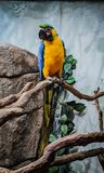 Μπλε και κίτρινος παπαγάλος σκαρφαλωμένος στοκ εικόνα