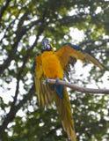 Μπλε και κίτρινος παπαγάλος Macaw macaw Στοκ Εικόνα