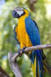 Μπλε και κίτρινος παπαγάλος Macaw, ararauna Ara, επίσης γνωστό ως μπλε και χρυσό Macaw Μπαλί Ινδονησία Στοκ φωτογραφίες με δικαίωμα ελεύθερης χρήσης