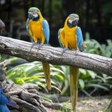 Μπλε και κίτρινος παπαγάλος Macaw, ararauna Ara, επίσης γνωστό ως μπλε και χρυσό Macaw στη Μπανγκόκ, Ταϊλάνδη Στοκ εικόνα με δικαίωμα ελεύθερης χρήσης
