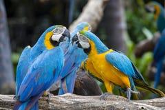 Μπλε και κίτρινος παπαγάλος Macaw, ararauna Ara, επίσης γνωστό ως μπλε και χρυσό Macaw στη Μπανγκόκ, Ταϊλάνδη Στοκ Φωτογραφίες