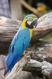Μπλε και κίτρινος παπαγάλος Macaw, ararauna Ara, επίσης γνωστό ως μπλε και χρυσό Macaw στη Μπανγκόκ, Ταϊλάνδη Στοκ φωτογραφίες με δικαίωμα ελεύθερης χρήσης