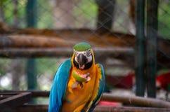 Μπλε-και-κίτρινος-πράσινο ararauna Macaw Ara που τρώει την γκοϋάβα στοκ φωτογραφίες με δικαίωμα ελεύθερης χρήσης