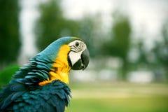 Μπλε και κίτρινο κεφάλι ararauna Macaw Ara κινηματογραφήσεων σε πρώτο πλάνο Στοκ Φωτογραφία