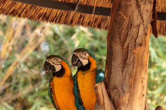 Μπλε και κίτρινο πουλί Macaw αποκαλούμενο ararauna Ara Στοκ Εικόνες