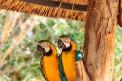 Μπλε και κίτρινο πουλί Macaw αποκαλούμενο ararauna Ara Στοκ εικόνα με δικαίωμα ελεύθερης χρήσης