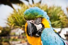 Μπλε και κίτρινο ararauna Ara παπαγάλων Macaw σε Lanzarote, Κανάρια νησιά, Ισπανία Στοκ εικόνα με δικαίωμα ελεύθερης χρήσης