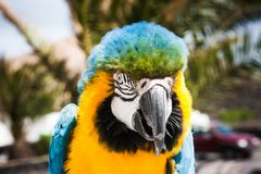 Μπλε και κίτρινο ararauna Ara παπαγάλων Macaw σε Lanzarote, Κανάρια νησιά, Ισπανία Στοκ Φωτογραφίες