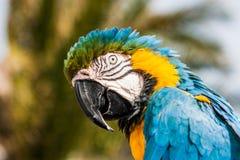 Μπλε και κίτρινο ararauna Ara παπαγάλων Macaw σε Lanzarote, Κανάρια νησιά, Ισπανία Στοκ εικόνες με δικαίωμα ελεύθερης χρήσης