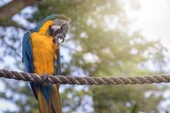 Μπλε και κίτρινο ararauna Ara macaw που σκαρφαλώνει υπαίθρια Στοκ Εικόνα