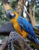 Μπλε-και-κίτρινο ararauna Macaw Ara σε ένα πάρκο πουλιών Στοκ φωτογραφία με δικαίωμα ελεύθερης χρήσης