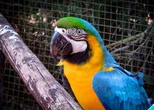 Μπλε-και-κίτρινο ararauna Macaw Ara στο κλουβί Στοκ εικόνα με δικαίωμα ελεύθερης χρήσης