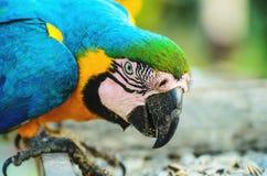 Μπλε-και-κίτρινο macaw γνωστό ως Arara-arara-caninde στη Βραζιλία Στοκ Φωτογραφία