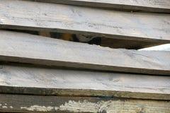 Μπλε και κίτρινο macaw, κρύψιμο Στοκ φωτογραφία με δικαίωμα ελεύθερης χρήσης