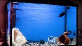 Μπλε και μαύρος-ριγωτό μαλαουιανό cichlid Cichlasoma που κολυμπά στο μπλε νερό του ενυδρείου aquino Σίτιση bloodworms απόθεμα βίντεο