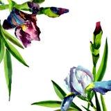 Μπλε και ρόδινες ίριδες Floral βοτανικό λουλούδι Τετράγωνο διακοσμήσεων συνόρων πλαισίων Στοκ εικόνες με δικαίωμα ελεύθερης χρήσης