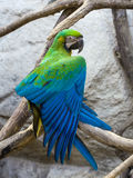 Μπλε και χρυσός macaw Στοκ εικόνες με δικαίωμα ελεύθερης χρήσης