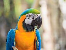 Μπλε και χρυσός macaw Στοκ φωτογραφία με δικαίωμα ελεύθερης χρήσης