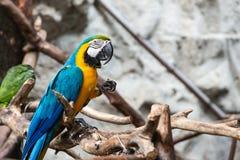 Μπλε και χρυσό πουλί macaw Στοκ Εικόνες