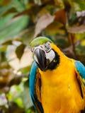 Μπλε-και-χρυσό ararauna Macaw Ara Στοκ φωτογραφίες με δικαίωμα ελεύθερης χρήσης
