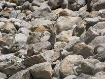 μπλε καλυμμένα himalayan πρόβατα Στοκ Φωτογραφίες