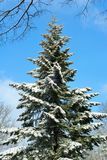 μπλε καλυμμένο ψηλό δέντρο χιονιού ουρανού έλατου Στοκ Φωτογραφία