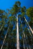 μπλε κατακόρυφος δέντρων skywards γόμμας Στοκ φωτογραφία με δικαίωμα ελεύθερης χρήσης